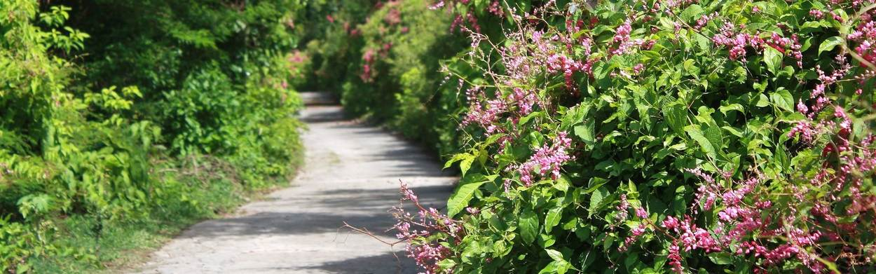St.Eustatius_road_through_flowers